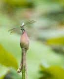 dragonfly pączkowy lotos Obrazy Royalty Free