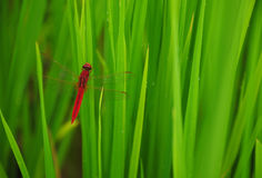 Dragonfly in the paddy rice Stock Photos