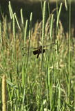 Dragonfly. Male Painted Skimmer Dragonfly in the wild Royalty Free Stock Images