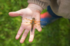 Dragonfly on the palms of the child. Stock Images