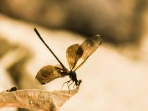 A dragonfly is parked on a dry leaf in the summer royalty free stock photo