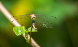 Dragonfly in the parks. Dragonflies in the garden, Thailand Stock Photo