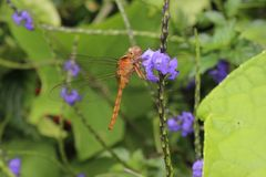 Dragonfly in patch of purple flowers Royalty Free Stock Images