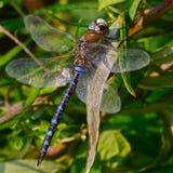 Dragonfly patrzeje ja Zdjęcia Stock