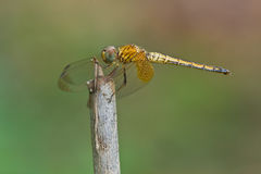 Dragonfly on a perch Stock Images
