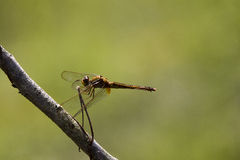 Dragonfly perched on a branch, brown eyes. Central Florida Royalty Free Stock Photography