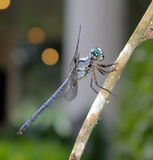 Dragonfly Perched on Branch. Close-up of a dragonfly perched on a branch Stock Image