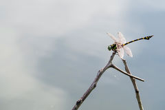 Dragonfly perched on a branch just above the water. Dragonfly perched on a branch just above the water in sun shine morning Royalty Free Stock Images