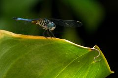 Dragonfly perched on edge of leaf, wings out stock photos