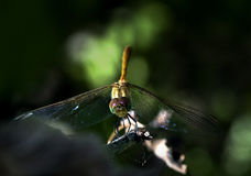 Dragonfly perched on the end of a   branch Stock Image