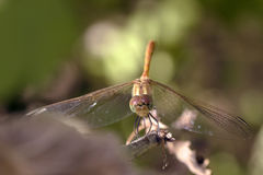 Dragonfly perched on the end of a   branch, Stock Photo