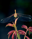 Dragonfly perched on the end of a   branch, eye close-up, Royalty Free Stock Photos