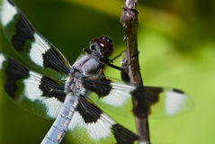 Dragonfly Perched on End of Twig Royalty Free Stock Photos