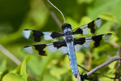 Dragonfly Perched on End of Twig Stock Photo