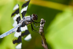 Dragonfly Perched on End of Twig Royalty Free Stock Photography