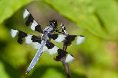 Dragonfly Perched on End of Twig Stock Photography