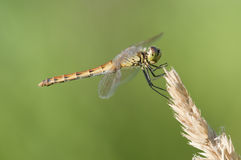Dragonfly perched on a grass spike Stock Photography