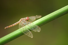 Dragonfly perched Royalty Free Stock Photography
