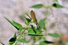 Dragonfly. Royalty Free Stock Photography