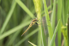 Dragonfly perched on a leaf Royalty Free Stock Photos