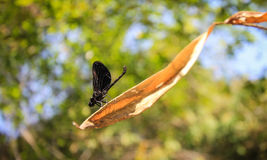 Dragonfly. Perched on a leaf in summer Royalty Free Stock Photo