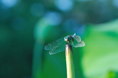 Dragonfly Perched on Lotus Stalk Royalty Free Stock Image