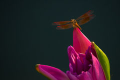 Dragonfly perched on top of pink lotus Stock Photos