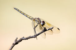 Dragonfly perched on a twig Stock Photography