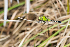 Dragonfly perched on twig Stock Images