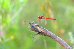 Dragonfly perched on wood Royalty Free Stock Images