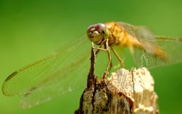 Dragonfly perched on wood Stock Photography