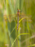Dragonfly Perching on Plant. Female Hairy Dragonfly (Brachytron pratense) in National Park the Weerribben in the Netherlands royalty free stock images