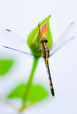 Dragonfly. A dragonfly is perching on a rose Royalty Free Stock Image