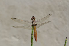 Dragonfly. Photo of dragonfly in the garden Royalty Free Stock Photo