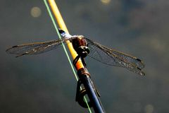 Dragonfly. Photo of a dragonfly placed on a fishing rod.Beautiful insect royalty free stock image
