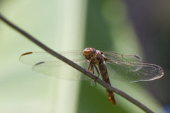 Dragonfly. Photo of a dragonfly on a steel cable Royalty Free Stock Photography