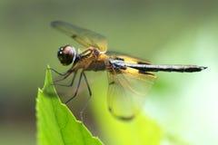 dragonfly phyllis rhyothemis Obrazy Royalty Free