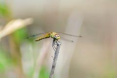 Dragonfly piękny i śmieszny Zdjęcie Stock