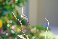 Dragonfly picture Royalty Free Stock Images