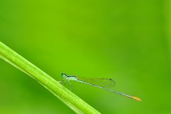 Dragonfly pin. Of Thailand background Stock Image