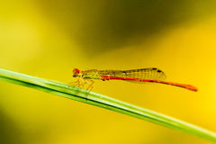 Dragonfly pin on green Stock Photography