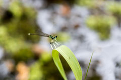 Dragonfly pin on green Royalty Free Stock Photo