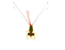 Dragonfly pin. Dragonfly on a white background Royalty Free Stock Photography