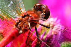 Dragonfly on pink clover Stock Photography