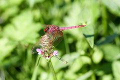 The dragonfly. The pink dragonfly on the flower Stock Photography