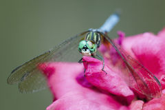 Dragonfly on pink rose Royalty Free Stock Image