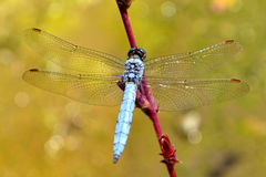 Dragonfly on pink sprig Royalty Free Stock Photos