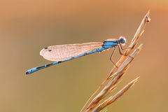 Dragonfly on plant Royalty Free Stock Photos