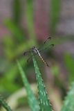 Dragonfly on Plant Royalty Free Stock Image