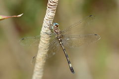 Dragonfly on a plant Stock Images